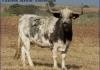 vaca-239-g3-clientita-victorino-martin-monteviejo