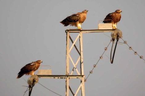 Las obras en tendidos eléctricos para reducir riesgo de electrocución y colisión de aves costarán 2,5 millones