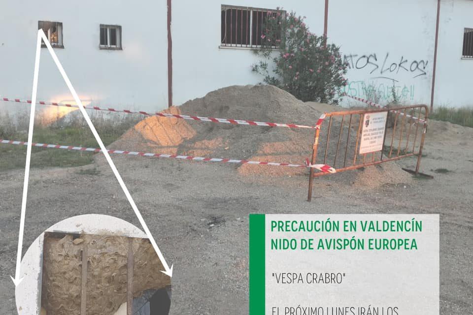 NIDO DE AVISPÓN EUROPEO EN VALDENCÍN