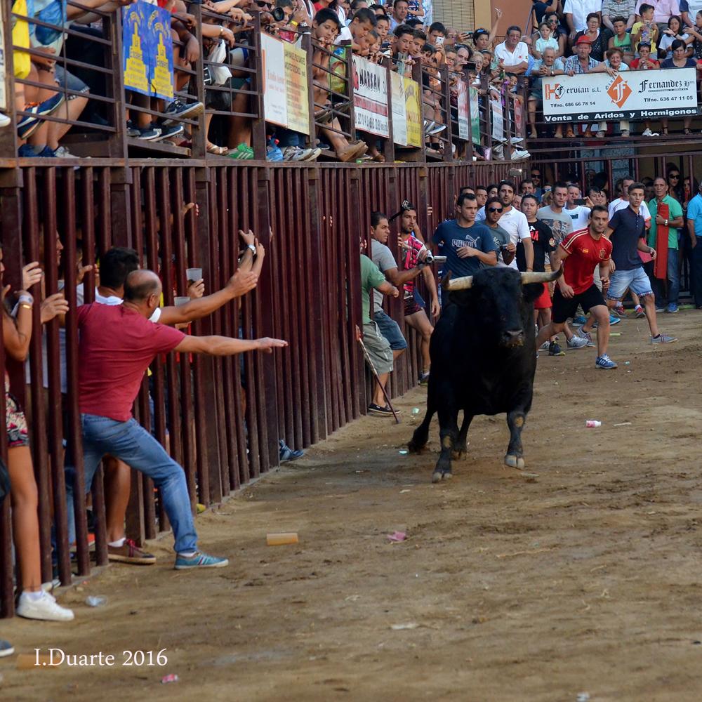 Imágenes toros  de Torrejoncillo 2016