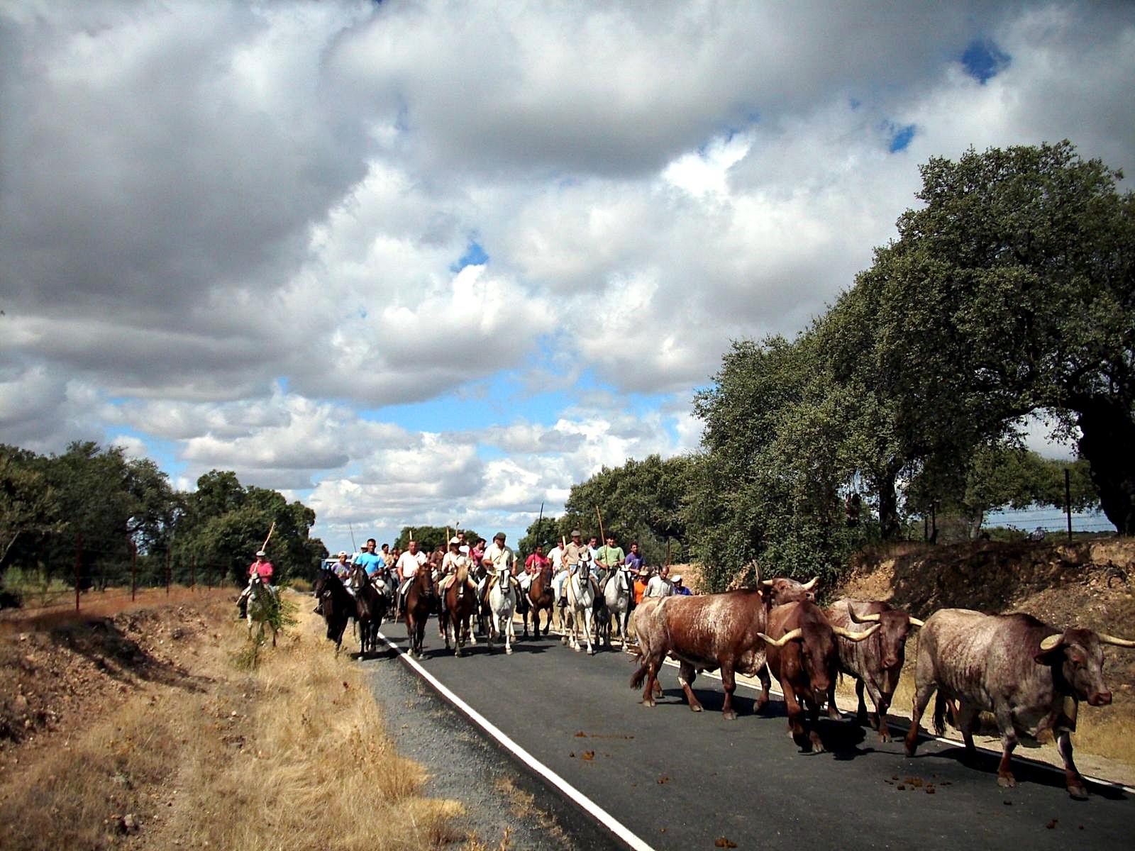 Las Fiestas de Agosto de Torrejoncillo recuperan el encierro de los bueyes a caballo