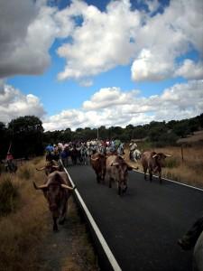 Tras celebrarse en el año 2008, Torrejoncillo volverá a celebrar el encierro de los bueyes a caballo en sus Fiestas de Agosto - ARCHIVO