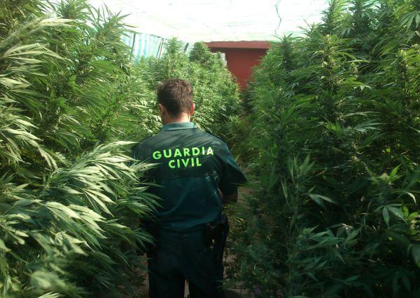 Desmantelan una plantación de marihuana en Torrejoncillo