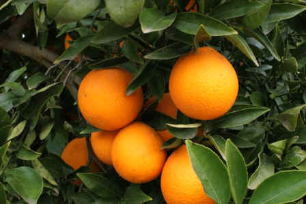 El Ministerio define las coberturas para los seguros del cultivo de cítricos en Casas de Millán y Cañaveral