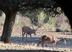 Venados en el Parque Nacional de Monfragüe - DIARIO HOY